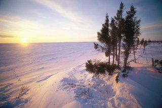 Norbert rosing wapusk national park Wall Decals A View at Sunset of Wapusk National Park Snow Fields Trampled Trees and Inden Tations in the Snow Indicate the Resting Place of a Polar Bear   30 inches x 20 inches   Peel and Stick Removable Graphic   Wall B