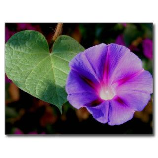Beautiful Single Morning Glory Flower and Leaf Post Cards
